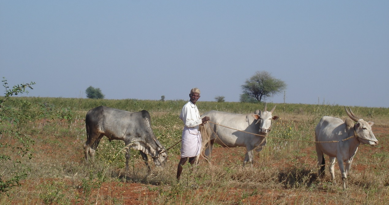 farmer with local cows