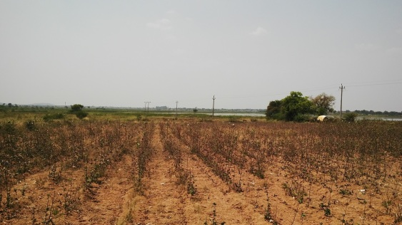 Cotton farm (dry)