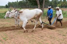 Bull plough