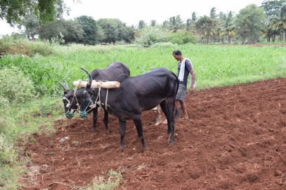 Bull plough1